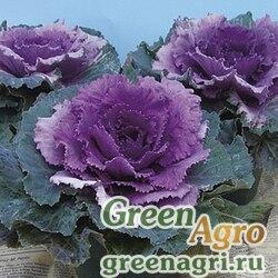 Декоративная капуста Brassica oleracea Party F1 Red Raw 1000