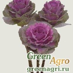 Декоративная капуста Brassica oleracea Dream F1 Red Raw 1000