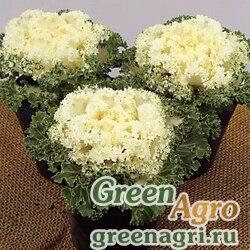 Декоративная капуста Brassica oleracea Bloom F1 White Raw 1000
