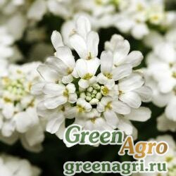 "Иберис вечнозеленый (Iberis sempervirens) ""Whiteout"" (white) raw 1000 шт."