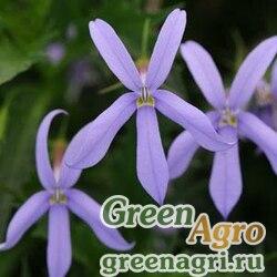 Изотома гибридная Isotoma hybrida GEMINI BLUE Pelleted 500