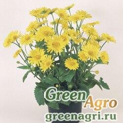 "Дороникум восточный (Doronicum orientale) ""Little Leo"" (yellow) raw 1000 шт."