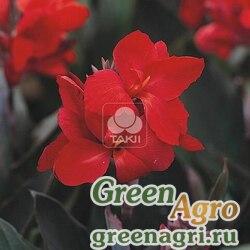 Канна садовая Canna generalis Tropical Bronze Scarlet Raw 1000