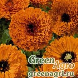"Календула лекарственная (Calendula officinalis) ""Touch of Red"" (orange) Raw 1000 шт."