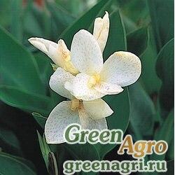 Канна садовая Canna generalis Tropical White Raw 1000