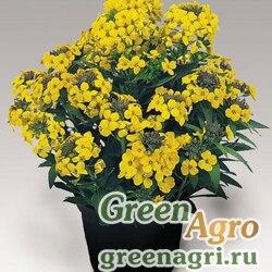 Желтушник полукустарниковый Erysimum suffruticosum Gold Dust Yellow Raw 5000