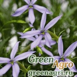 Изотома Лаурентия пазушная Laurentia axillaris Starshine F1 blue Multi-pelleted 1000