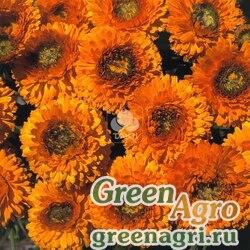 "Календула лекарственная (Calendula officinalis) ""Greenheart"" (orange) raw 1000 шт."