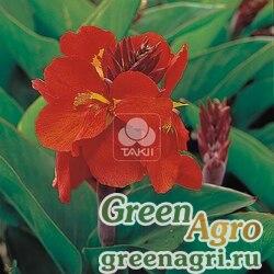 Канна садовая Canna generalis Tropical Red Raw 1000