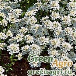 """Иберис вечнозеленый (Iberis sempervirens) """"Tahoe"""" (white) raw 1000 шт."""
