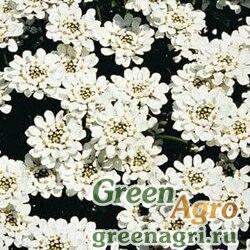 """Иберис вечнозеленый (Iberis sempervirens) """"Snowflake"""" (white) raw 1000 шт."""