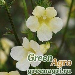 "Инкарвиллея китайская (Incarvillea sinensis) ""Cheron"" (white) raw 1000 шт."