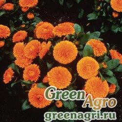 "Календула лекарственная (Calendula officinalis) ""Bon Bon"" (orange) raw 1000 шт."