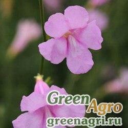 """Инкарвиллея китайская (Incarvillea sinensis) """"Cheron"""" (pink) Raw 1000 шт."""