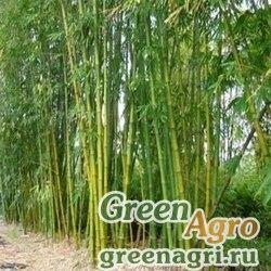 Бамбук прямой (Dendrocalamus strictus) 30 г