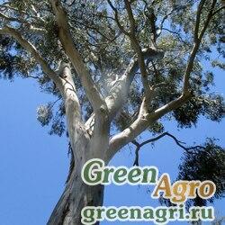 Эвкалипт красный лесной (Eucalyptus tereticornis) 40 г