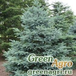 """Ель колючая ф. сизая (Picea pungens f. glauca) """"Apache, AZ"""" 5 г"""