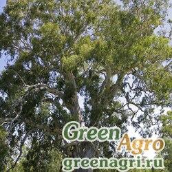 Эвкалипт камальдульский (Eeucalyptus camaldulensis) 20 г