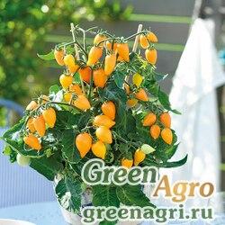 """Томат (Lycopersicon esculentum) """"Plumbrella"""" (orange) raw 1000 шт."""