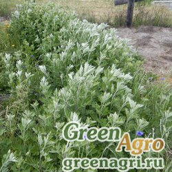 Полынь индийская (Artemisia princeps) 30 гр.