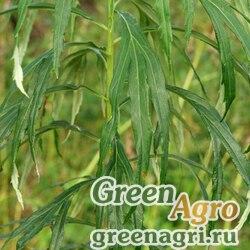 Полынь селенгинская (Artemisia selengensis) гр 2 гр.