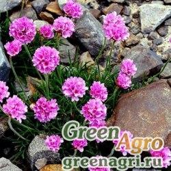 Армерия обыкновенная Мориса (Armeria vulgaris var. morisii) 4 гр.