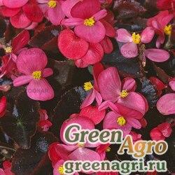 """Бегония вечноцветущая (бронзовая листва) (Begonia semperflorens) """"Eureka F1"""" (bronze rose) pelleted 100 шт."""