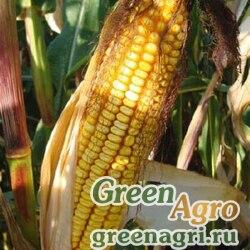 Семена Кукуруза, ДКС 3717, 1 п.е., Monsanto