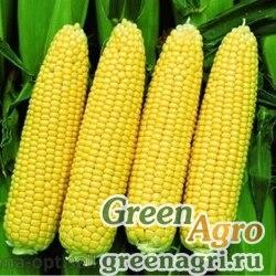 Семена Кукуруза, Окато, 1 п.е., Saatbau