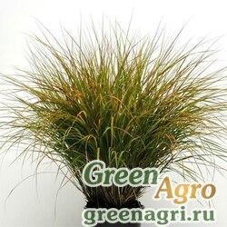 Семена Ковыль тростниковидный (Anemanthele lessoniana) 0.2 гр.