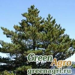 """Настурция канареечная (Tropaeolum canariense) """"Yellow Canary"""" 50 гр."""