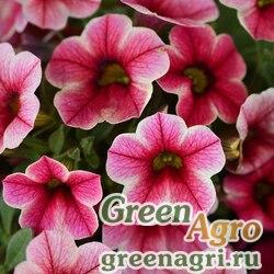 """Калибрахоа гибридная ампельная (Calibrachoa hybrida) """"Crave"""" (strawberry star) pelleted 100 шт."""