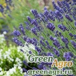 "Лаванда узколистная (Lavandula angustifolia) ""Hidcote Promise"" (violet-blue) raw 1000 шт."