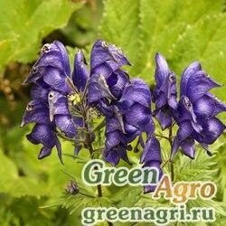 Аконит пестрый (Aconitum variegatum) 1 гр.