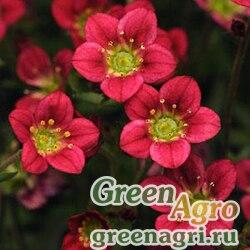"Камнеломка Арендса (Saxifraga arendsii) ""Rocco"" (red) pelleted 1000 шт."