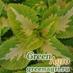 "Колеус гибридный (Coleus х hybrida) ""Kong Jr."" (green halo) pelleted 100 шт."