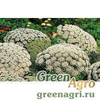 Семена Амми зубная (Ammi visnaga) 10 гр.