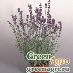 "Лаванда узколистная (Lavandula angustifolia) ""Munstead Variety"" (lavender blue) raw 1000 шт."