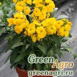 Лакфиоль Чери Cheiranthus cheiri Treasure F1 Yellow Raw 1000