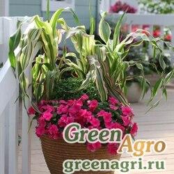 Кукуруза Zea mays Field of Dreams Green Elitech quality 1000