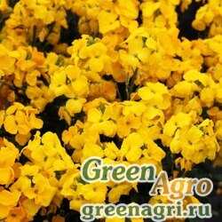 Лакфиоль Чери Cheiranthus cheiri Sugar Rush F1 Yellow Raw 1000