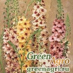 Коровяк гибридный Verbascum hybrida SOUTHERN CHARM MIX Pelleted 100