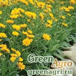 """Кореопсис крупноцветковый (Coreopsis grandiflora) """"Early Sunrise"""" (yellow) primed 1000 шт."""