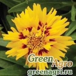 """Кореопсис крупноцветковый (Coreopsis grandiflora) """"Rising Sun"""" (yellow) raw 1000 шт."""