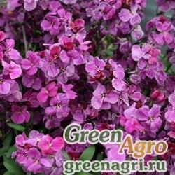 Лакфиоль Чери Cheiranthus cheiri Sugar Rush F1 Purple Bicolour Raw 1000