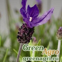 "Лаванда стэхадская (Lavandula stoechas) ""Castilliano"" (violet) raw 1000 шт."