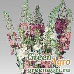 Коровяк фиолетовый Verbascum phoeniceum Verbascum phoeniceum Mix Raw 5000