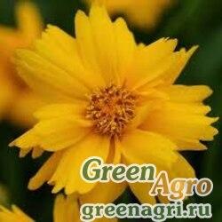 """Кореопсис крупноцветковый (Coreopsis grandiflora) """"Sun Up"""" (yellow) raw Произв. 1000 шт."""