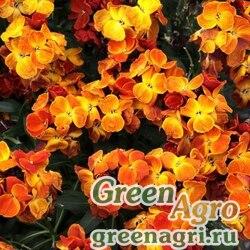 Лакфиоль Чери Cheiranthus cheiri Sugar Rush F1 Orange Raw 1000