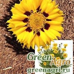 """Кореопсис крупноцветковый (Coreopsis grandiflora) """"Andamo"""" (yellow with red) Raw 1000 шт."""
